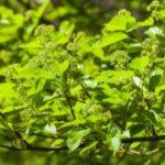Blätter des Amur-Ahorns